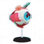 Puzzle Eyeball Anatomy Model